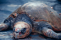 olive ridley sea turtle, Lepidochelys olivacea, killed by sailfish; bill broke off after impaling turtle , East Pacific Ocean
