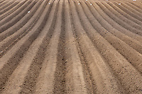 14-4-2021 Potato rows in the Lincolnshire fens<br /> ©Tim Scrivener Photographer 07850 303986<br />      ....Covering Agriculture In The UK....