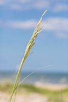Avon, Outer Banks, North Carolina.  Sea Oats (Uniola Paniculata) Blowing in the Wind.