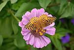 Great Spangled Fritillary butterfly on zinnia