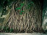 Flora, Bayan Wurzeln, Wurzelwerk, trist, Hongkong, China, 2003, Hong Kong Flora<br />  ***Keine Social_Media Nutzung***<br /> <br /> Engl.: Asia, China, Hong Kong, urban flora, plant, roots<br /> ***No social media use***