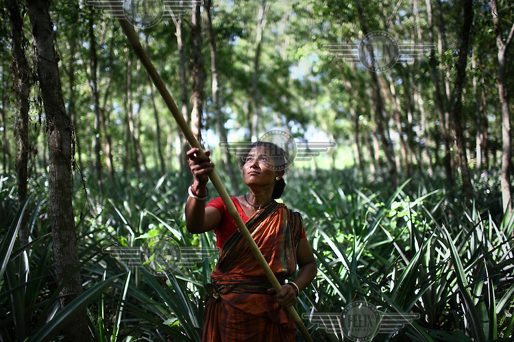 A Garo woman collects firewood using a long pole to knock down dried pieces of dead wood. The Garo (or Mandi, as they refer to themselves) are an ethnic minority thought to be of Tibeto-Burmese origin. Prior to British rule they were mostly anamists but missionary work led the majority to convert to Christianity. The Garo of the Madhupur forest have long been under the threat of eviction by the government and the forest that they gain much of their livelihood from is being rapidly destroyed by unregulated logging.