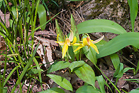 Erythronium americanum, Yellow Trout Lily, American native wildflower, in spring bloom, showing back of nodding yellow downward facing flowers, slightly mottled leaves