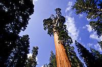 General Sherman sequoia tree in Giant Grove, Yosemite National Park, California, USA