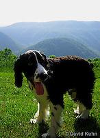 0730-0818  English Springer Spaniel, Canis lupus familiaris © David Kuhn/Dwight Kuhn Photography.