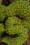 Bright green coral, Indonesia 2017,  Lembeh Straits, Lobophylia Coral- Green (Lobophyllia hemprichii), Macro,