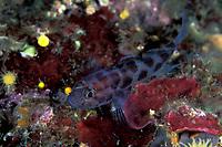 leopard-spotted goby, Thorogobius Ephippiatus, Vela Luka, Korcula island, Croatia, Adriatic Sea, Mediterranean
