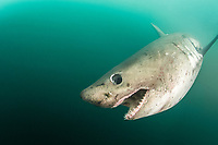 salmon shark, Lamna ditropis, Prince William Sound, Alaska, USA, Pacific Ocean