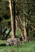 628507016v a wild african elephant loxodonta africana walks among yellow fever trees in ngorogoro crater national park in tanzania in east africa