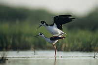 Black-necked Stilt, Himantopus mexicanus, pair mating, Welder Wildlife Refuge, Sinton, Texas, USA, June 2005