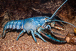 Northern Lobster blue color phase full body view facing right.  1 in every 2 million lobsters are blue