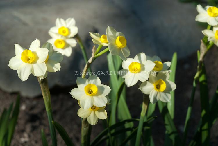 Narcissus daffodil Minnow, white petals with yellow corona, small daffodil
