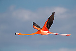 American Flamingo (Phoenicopterus ruber) in flight. Yucatan, Mexico.