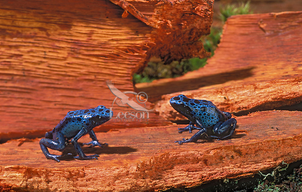 BLUE POISON ARROW FROGS..aka BLUE POISON DART FROGS/Blue Poison Frogs..Southern Suriname/Surinam. Captive..(Dendrobates azureus).