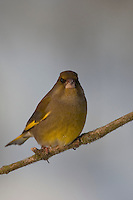 Grünfink, Grünling, Grün-Fink, Männchen, Chloris chloris, Carduelis chloris, greenfinch, Verdier d'Europe