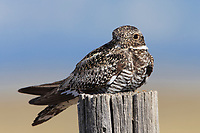 Common Nighthawk (Chordeiles minor). Central Idaho. June.