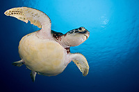 green sea turtle, Chelonia mydas, Palau, Micronesia, Pacific Ocean