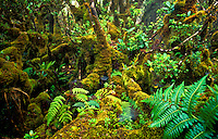 Pristine native rainforest, mosses and ferns covering the trees, in Alakai Swamp, Kauai with whispy bird shadows