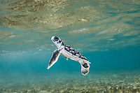 Australian flatback sea turtle hatchling rises toward the surface for a breath of air while swimming across a shallow reef on its way out to sea from the nesting beach, Natator depressus (c-r), Torres Strait, Queensland, Australia - a marine reptile endemic to the Australian continental shelf