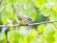 red-eyed vireo, Vireo olivaceus, in spring time woods, Nova Scotia, Canada