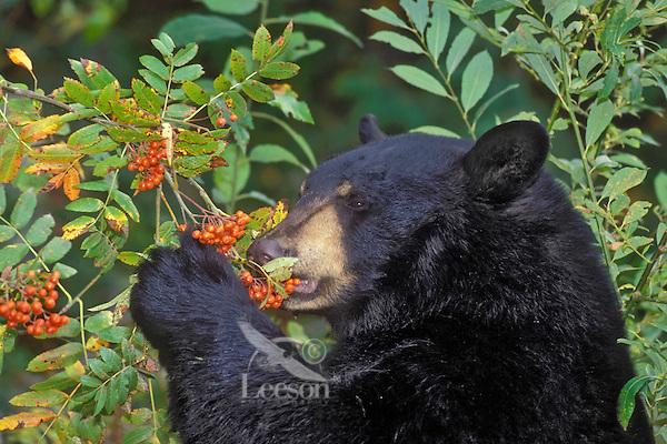 Black Bear eating winter ash berries..Autumn. Rocky Mountains..(Ursus americanus).