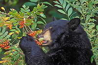 Black Bear eating winter ash berries..Autumn. Rocky Mountains..(Ursus americanus).