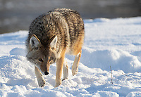 Coyotes are perhaps the easiest canid to find and photograph in Yellowstone during winter trips. They're constantly searching for food in tough conditions.