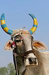 Well decorated cow, Pushkar Fair, India