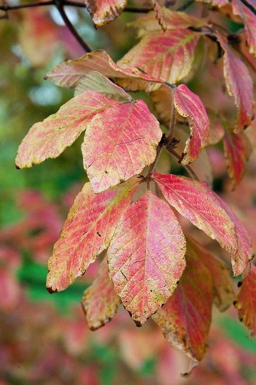 Nikko maple (Acer maximowiczianum), end October.