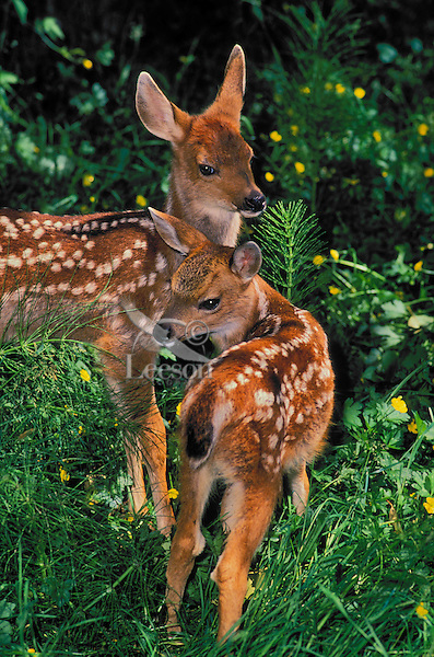 Black-tailed Deer fawns. Spring..Pacific Coast. British Columbia, Canada..(Odeocoileus hemionus).