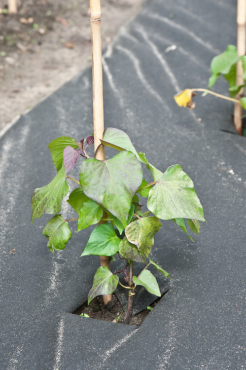 Sweet potatoes being grown through a weed-resistant, moisture-retentive sheet mulch, end June.