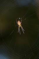 Herbstspinne, lauert im Netz, Herbst-Spinne, Metellina cf. segmentata, Meta cf. segmentata, Autumn spider, Autumn-spider, Lesser Garden Spider