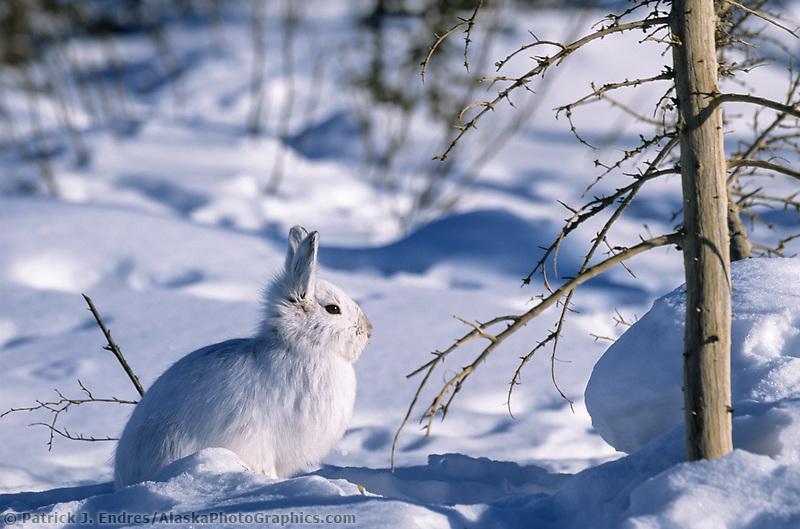 Snowshoe hare in winter white pelage, snow covered tundra, Brooks Range, Arctic, Alaska.