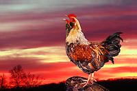 Rooster crowing at sunrise