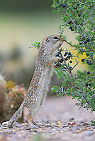 Mexican Ground Squirrel (Spermophilus mexicanus), adult eating berries, Laredo, Webb County, South Texas, USA