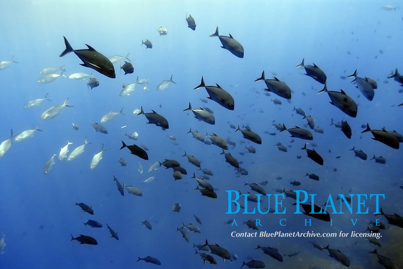 Black jacks and blue runners, Caranx lugubris and Carangoides crysos , schooling in open water, St. Peter and St. Paul's rocks, Brazil, Atlantic Ocean