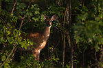 White-tailed doe in the dappled light of a northern Wisconsin forest.