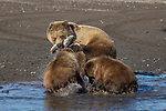 Pictured:  Sequence 13 of 13:  The bear cub with a fish, able to share it with her cubs.<br /> <br /> Grizzly bears viciously attack each other as they battle over a fish.  The two brown-haired bears became aggressive as they came to blows over their food, digging their paws and teeth into each other.<br /> <br /> Photographer Kevin Dooley spotted the female bear, thought to be about 16 years old, fighting with the younger five-year-old male bear in southwestern Alaska.  SEE OUR COPY FOR DETAILS.<br /> <br /> Please byline: Kevin Dooley/Solent News<br /> <br /> © Kevin Dooley/Solent News & Photo Agency<br /> UK +44 (0) 2380 458800
