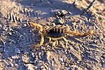 Giant Desert Hairy Scorpion