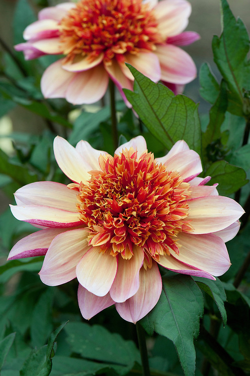 Dahlia 'Floorinoor', mid August. Anemone-Flowered Group.