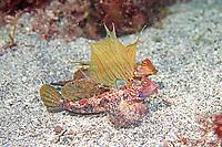 Japanese dragonet, Neosynchiropus ijimai, Izu Peninsula, Shizuoka, Japan, Pacific Ocean