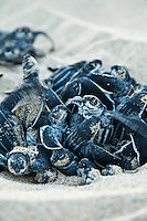 Endangered Leatherback Turtle.hatchlings at Sandy Point Wildlife  Refuge.St Croix, U.S. Virgin Islands