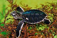 green sea turtle hatchling, Chelonia mydas, on sargassum weed, Juno Beach Marine Life Center, Florida, USA (c)