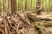 Beech forest interior near Lake Sylvan, Mt. Aspiring National Park, Central Otago, New Zealand