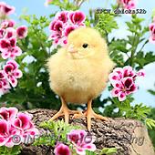 Xavier, EASTER, OSTERN, PASCUA, photos+++++,SPCHCHICKS52B,#e#, EVERYDAY ,chicken