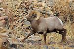 Bighorn Sheep Ram Running