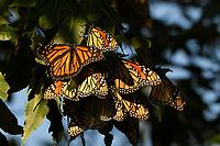 Monarch Butterflies, San Angelo State Park