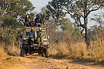 African Lion (Panthera leo) trackers, Christopher Muduwa and Timbo Frackson, looking for tracks during transect, with biologists, Xia Stevens and Evans Nsende, looking for herbivores, Kafue National Park, Zambia