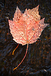 Water droplets collect on a maple leaf on Duck Brook in Acadia National Park, Maine, USA
