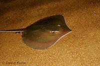 0130-08nn  Atlantic Stingray, Dasyatis sabina © David Kuhn